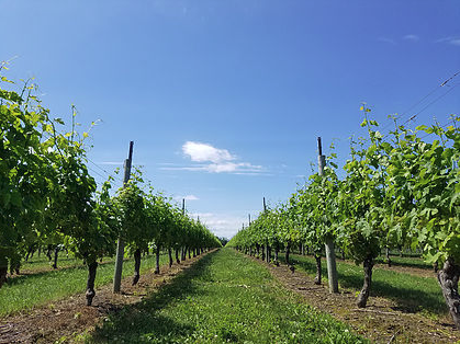 Lines of treees on a clear sky day at the North Fork Vineyard