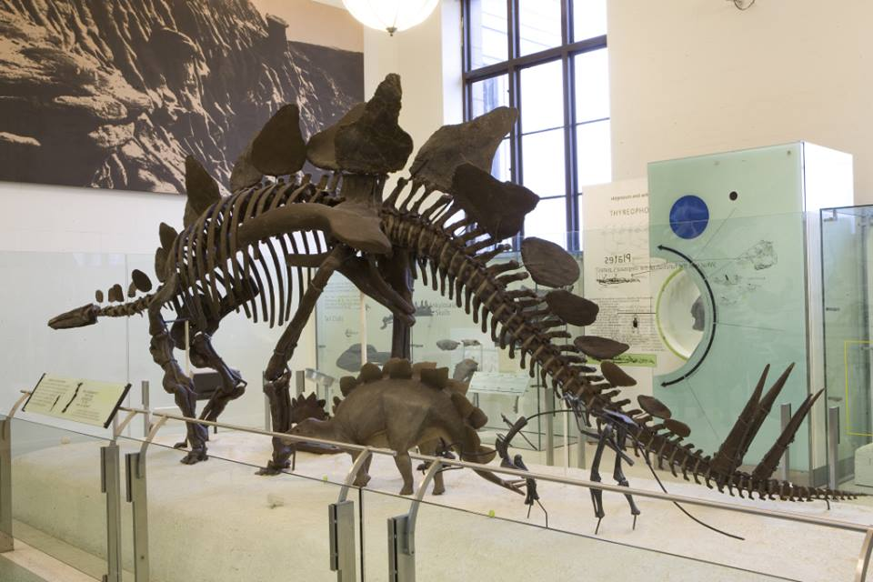 A Fossil of Stegosaurus on display at the American Museum of Natural History in New York City.