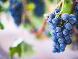 Ripe and juice grapes dangle from tree on day trip from New York