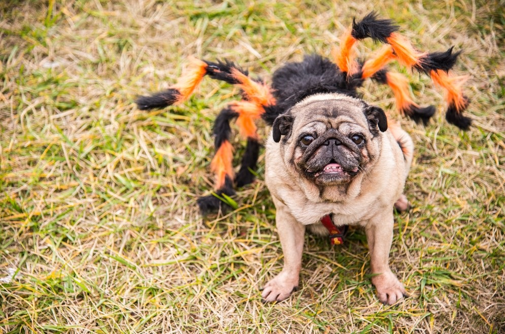 dog dressed in halloween outfit for halloween in New York